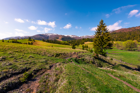 beautiful green valley in springtime. spruce forest on grassy slopes in the morning light. Borzhava mountain ridge with snowy tops in the distance under the blue sky with some clouds