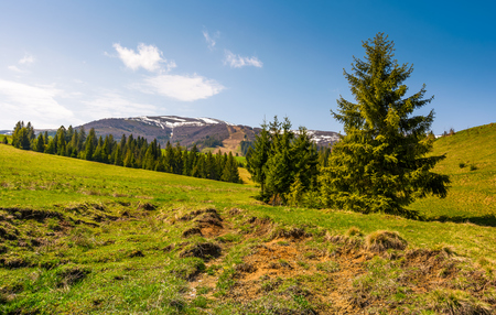 coniferous forest on the grassy slopes. beautiful springtime landscape of Ukrainian alps. mountain ridge with snowy tops in the distance