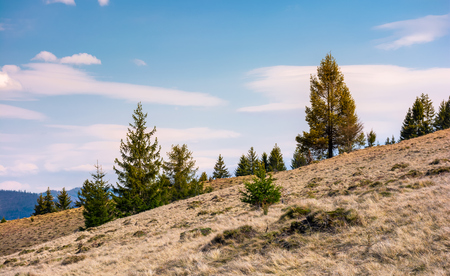 spruce forest on a slope with weathered grass. lovely nature scenery in springtime, some clouds on a blue sky Stock Photo