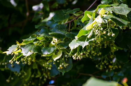 branch of linden tree against the blue sky. closeup of blossoming plant lit by the sun
