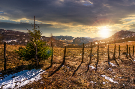 spruce tree on a hillside in springtime at sunset. beautiful landscape with grassy weathered slopes and some snow in mountains