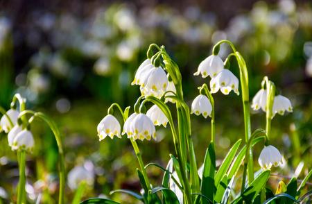 Het mooie bloeien van de Witte bloemen van de de lentesneeuwvlok in de lente. Sneeuwvlok ook wel zomersneeuwvlok of Loddon Lily of Leucojum vernum genoemd op een prachtige achtergrond van vergelijkbare bloemen in het bos Stockfoto