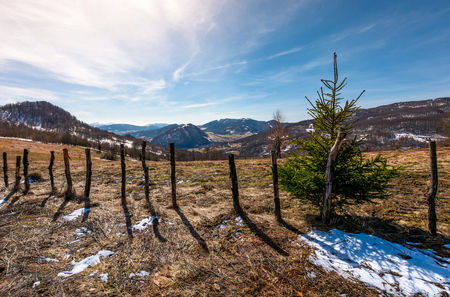 spruce tree on a hillside in springtime. beautiful landscape with grassy weathered slopes and some snow in mountains