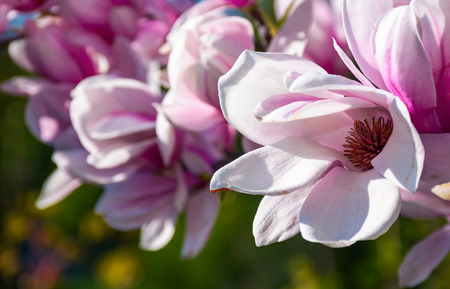 Beautiful springtime closeup background. Magnolia flower blossom in garden