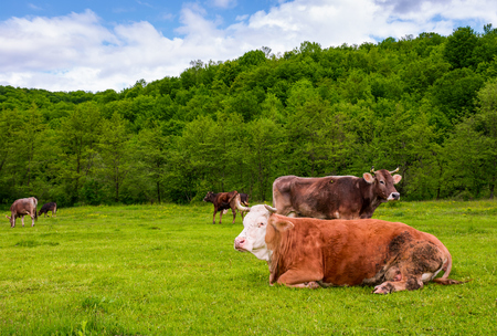 herd of cows on a pasture in mountains. fat rufous cow lay on the ground. lovely scenery in springtime Stock Photo