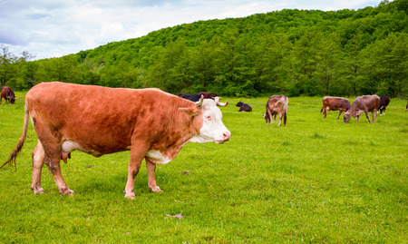 herd of cows on a pasture in mountains. big rufous cow in the foreground and forest in the distance. lovely scenery in springtime Stock Photo