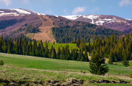 spruce forest on rolling hills. beautiful mountainous landscape in springtime