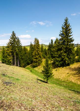 풀이 무성 한 언덕에 가문비 나무 숲입니다. 맑은 날에 봄 날에 아름 다운 산악 풍경