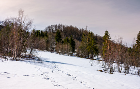 mixed forest leafless birch and coniferous trees on snowy slope. lovely mountainous landscape in springtime Stock Photo