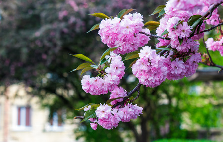 pink flowers on the branches of Japanese sakura blossomed above fresh green grass in spring