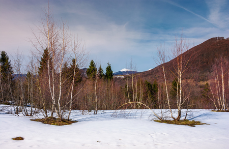 beautiful scenery with birch trees on snowy slope. lovely mountainous landscape with snowy peak in the distance in springtime