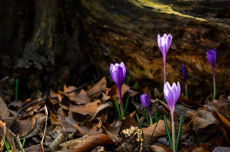 purple saffron flowers under the stump in forest. beautiful spring nature scenery. Imagens