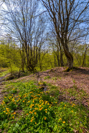 forest in springtime on a sunny day. lovely scenery with yellow flowers near the stream and green foliage on trees Stock Photo
