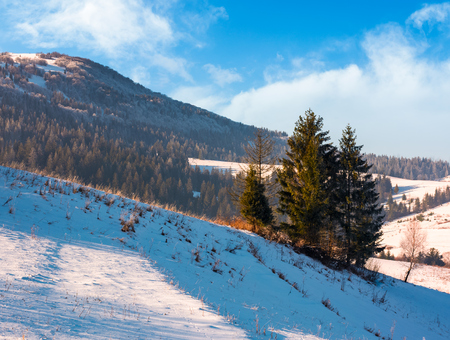 spruce trees on sunny winter day. beautiful countryside in mountains with forested and snowy slopes Stock Photo