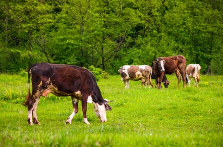 brown cow on a grassy field near the forest. lovely rural scenery in springtime Stock Photo