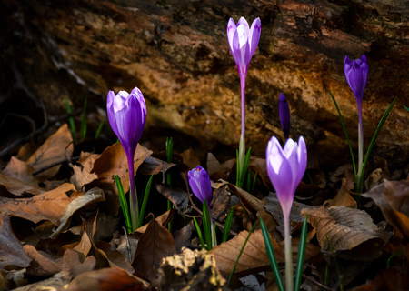 purple saffron flowers under the stump in forest. beautiful spring nature scenery. Stock Photo