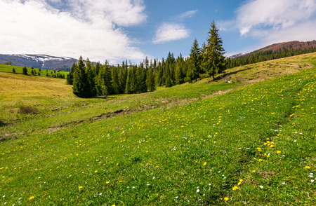 grassy meadow with flowers in mountains. beautiful springtime scenery with spruce forest. mountains with snowy tops in the distance Stock Photo