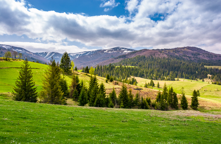 spruce trees on grassy slopes in mountainous area. gorgeous landscape of Carpathian mountains in springtime 版權商用圖片