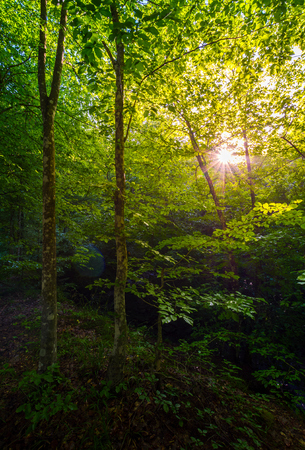 summer forest in the morning. beautiful nature background with sun burst among the branches Stock Photo
