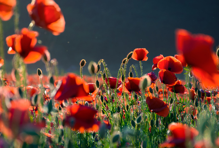 poppy flowers field bathing in the sunlight. beautiful summer background Stock Photo