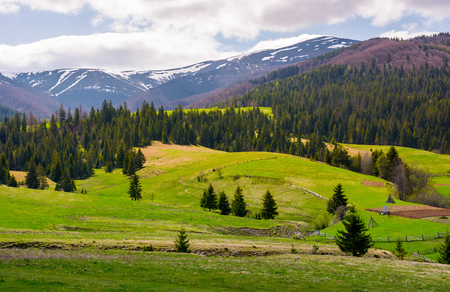 spruce trees on grassy slopes in mountainous area. gorgeous landscape of Carpathian mountains in springtime Stock Photo