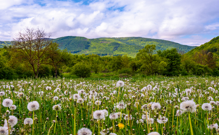 dandelion field in rural valley. countryside landscape in mountains at sunrise. gorgeous springtime weather