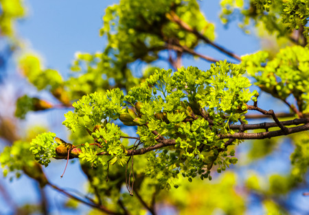 beautiful green foliage of tree in springtime. vivid natural background Stock Photo