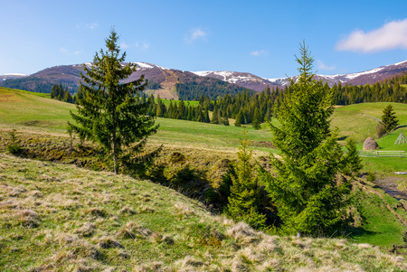 spruce trees on the meadow in mountains. beautiful countryside with snowy tops of mountains in the distance Stock Photo
