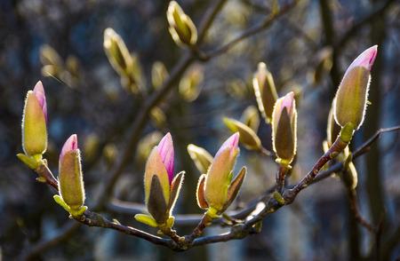 春にマグノリアの木の花。枝に紫色の花と美しい自然の背景