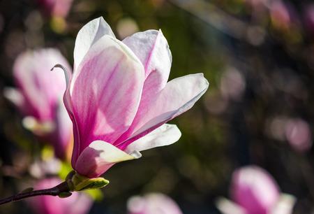 春にはマグノリアの木の花。枝に紫色の花を持つ美しい自然の背景