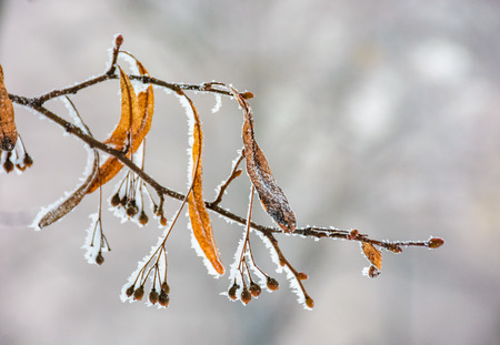 frozen leafs of linden tree on a branch. lovely nature background in winter Archivio Fotografico