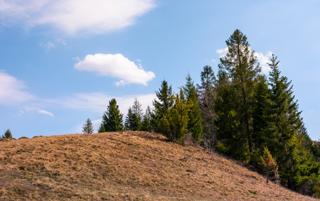 spruce forest on the edge of hillside covered with weathered grass. lovely nature scenery in springtime under the blue sky with some clouds