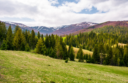 spruce forest on rolling hills in springtime. gorgeous landscape of Pylypets valley in Carpathian mountains, Borzhava mountain ridge with snowy tops in the distance Stock Photo