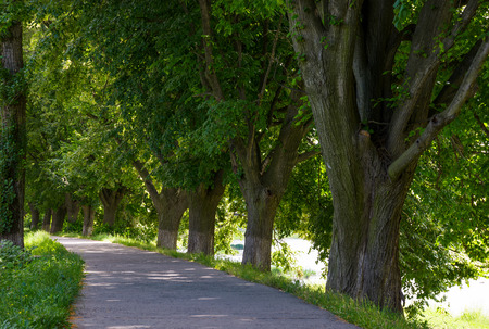 path under the trees of longest linden alley in Europe. location Uzhgorod, Ukraine