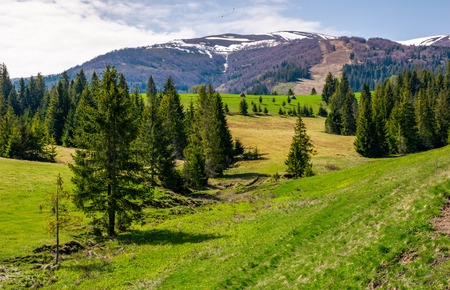 spruce forest on rolling hills in springtime. beautiful landscape with snowy tops of mountain ridge in the distance Stock Photo