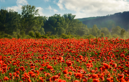 poppy field in summer evening. beautiful nature scenery with vivid flowers in sunset light Banque d'images - 96798127