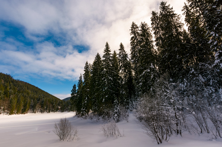 panorama of coniferous forest in winter. beautiful scenery of Synevyr National Park, Ukraine on a cloudy day