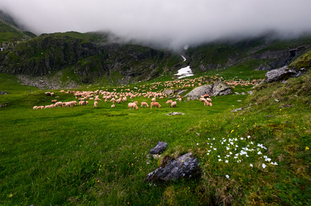 herd of sheep on a grassy meadow. grey cloud rolling in over the rocky cliff of mountain range. weather before storm Stock Photo
