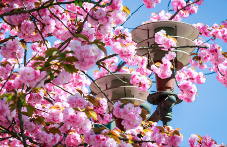 gorgeous sakura flowers around the lantern on a blue sky background. lovely springtime scenery in the park