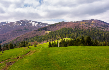 lovely mountainous countryside in springtime. spruce forest on grassy hills and mountains with snowy top