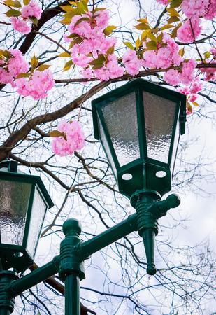 green lantern below the sakura blossom. beautiful romantic background