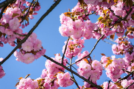 gorgeous sakura flowers on a blue sky background. lovely springtime scenery in the park Stock Photo