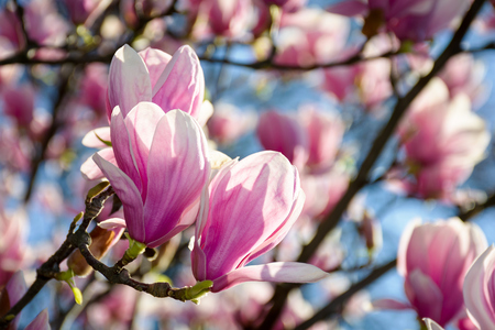gorgeous magnolia flowers on a blue sky background. lovely springtime scenery in the park Stock Photo