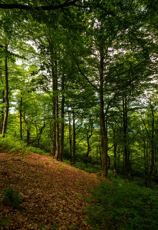 meadow in ancient beech forest. lovely nature scenery in Carpathian woods Stock Photo
