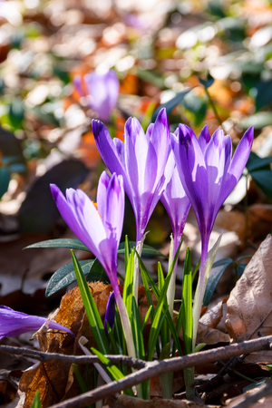 purple crocus flowers among weathered foliage in forest on a sunny day. beautiful springtime nature background Stock Photo