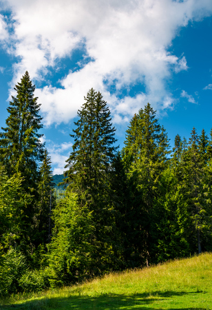 spruce forest on a grassy meadow. lovely summer scenery Stock Photo