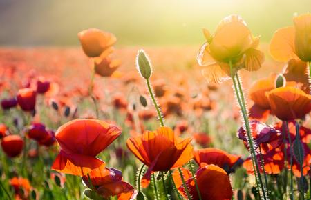 日光の下で野原にケシの花。美しい夏の自然の背景