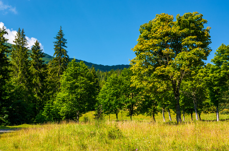 forest on a grassy meadow in mountains. beautiful summer landscape of Carpathians