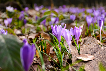 purple crocuses in the forest. beautiful springtime scenery on a sunny day Stock Photo