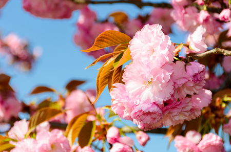 beautiful flowers of cherry blossom on a sunny day. lovely springtime background Stock Photo
